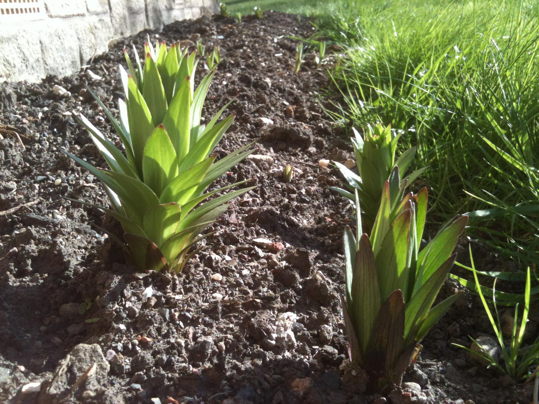 Dahlia gardeningforlawyers dahlias or pineapples izmirmasajfo