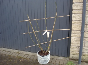 Fig treet