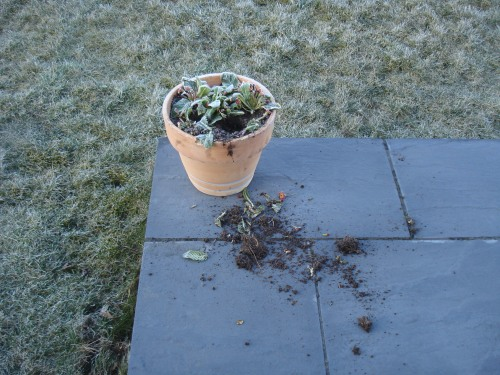 the primulas were pulled out of the pot but were not eaten.