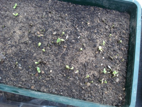 What is left of the zinnia seedlings