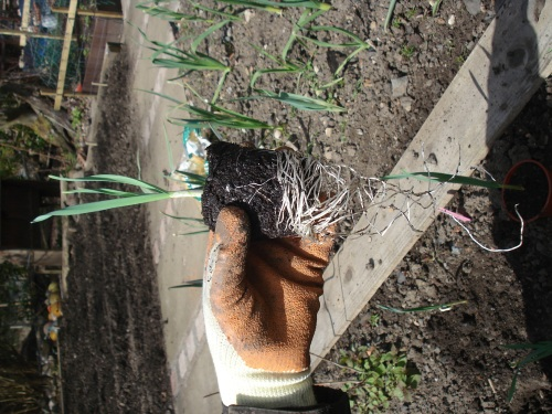The garlic had been hardened off for weeks but we could not get over the length of the roots.