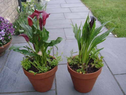 Mr Mac bought me a couple of Calla Lillies and planted them in pots with some trailing lobelia.