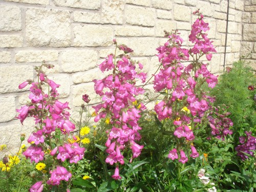 Penstemon - either Blueberry Ice or Juice Grape