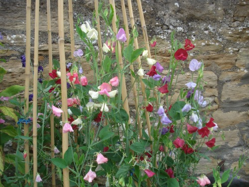 Some sweet peas that did not get eaten.....yet!