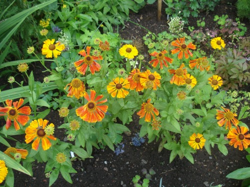 Helenium -  two plants bought from a specialist nursery at Gardening Scotland