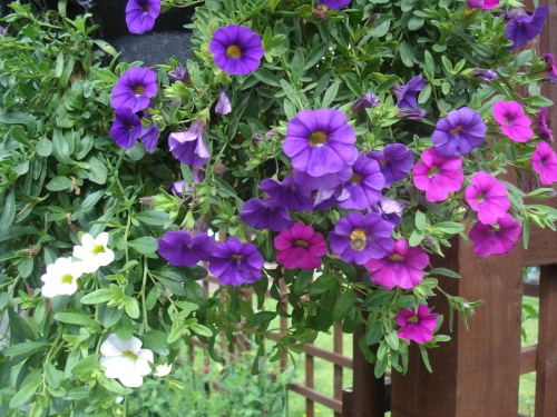 Millions bells in the hanging baskets