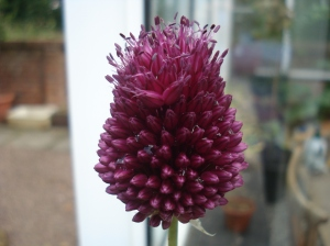One of the alliums - not sure which variety