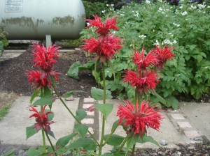Monard, otherwise known as Bee Balm