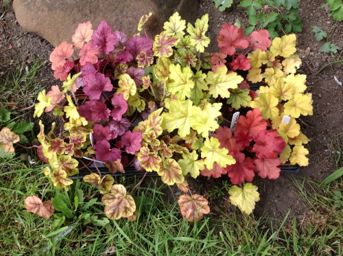 Some of the heucheras just ready to be planted out.