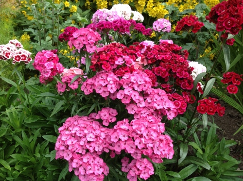Sweet William - all from free seeds!