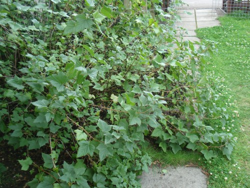 There were so many blackcurrants the bush collapsed on to the path!