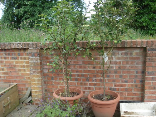 The evicted apple trees