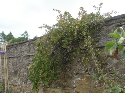 This little bush growing from the wall usually produces about 8lbs of fruit!