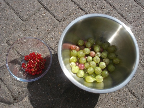 The redcurrant and gooseberry harvest