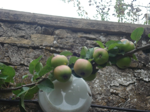Our Bramley apples